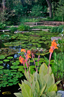 The Pond, Lillies
